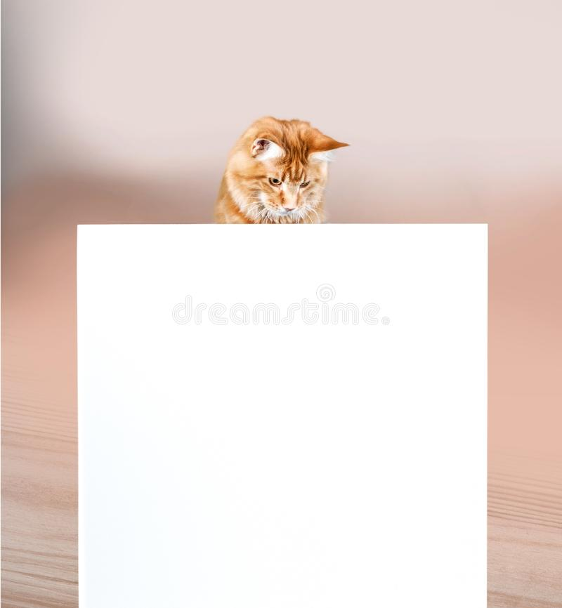 Kitten over sign. Cat box isolated for sale baby sitting stock photos