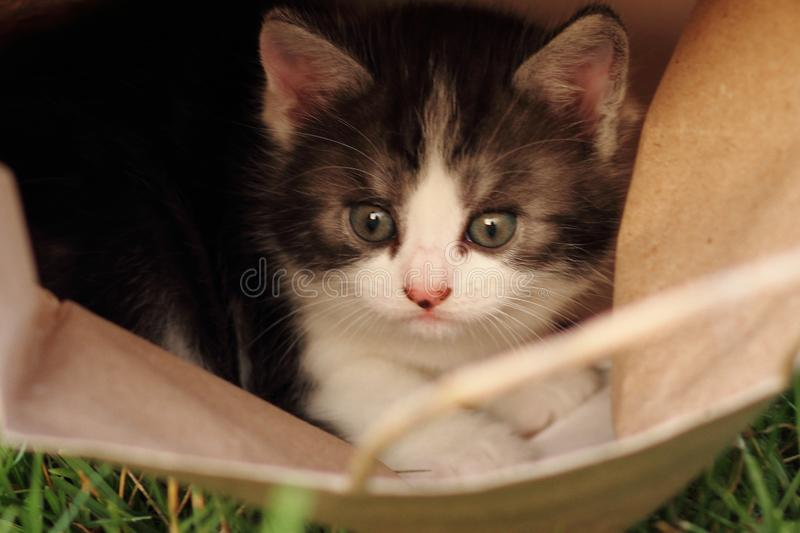 Kitten in packet. Kitten cat packet animal pets white gray kitty small wonderful homepets stock image