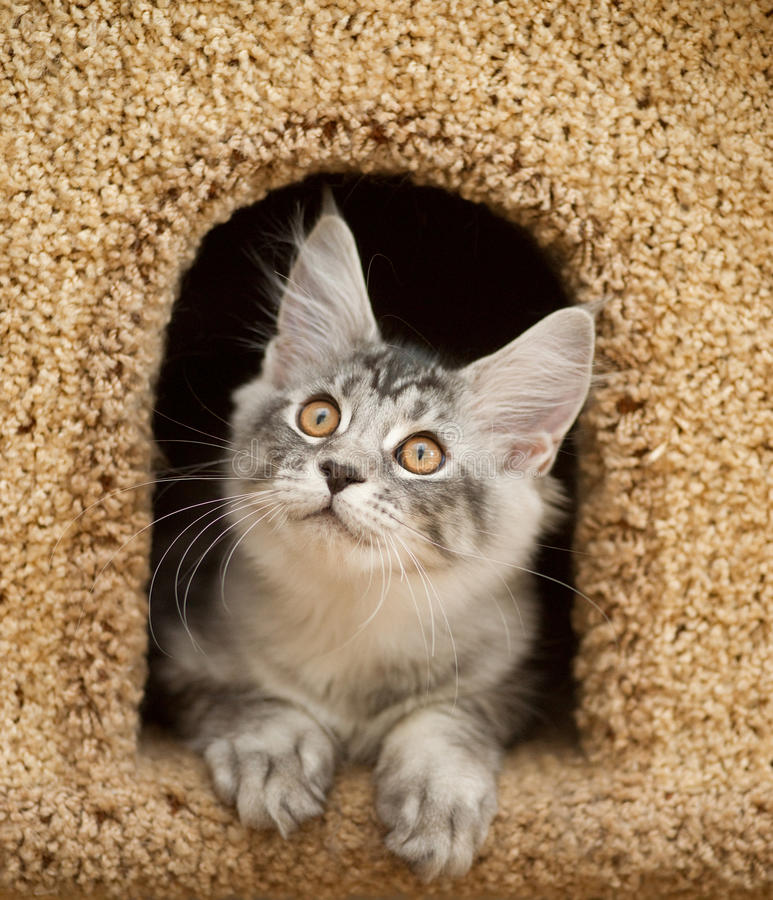 Kitten peeking out of the house royalty free stock photography