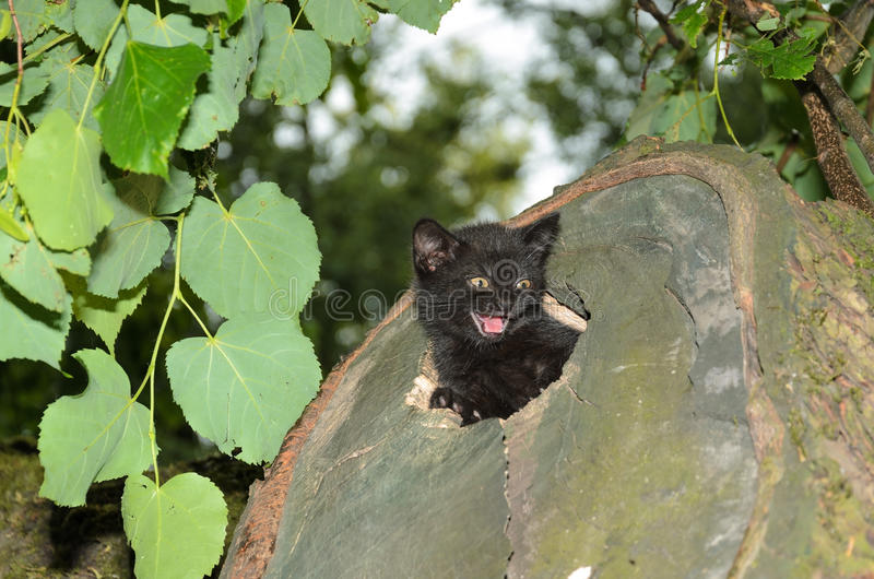 Kitten peeks out of the den. Wildcat royalty free stock image