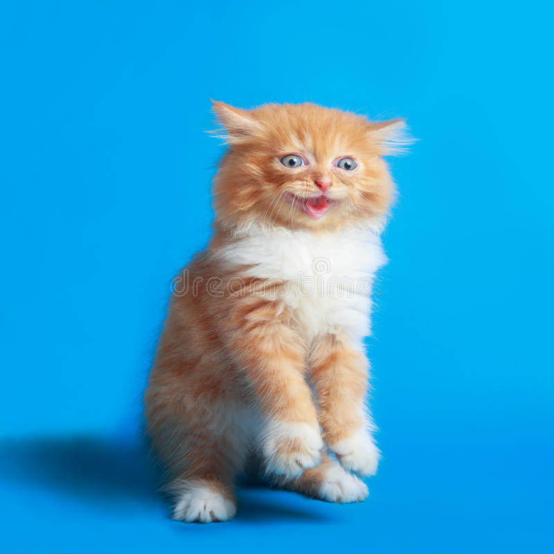 Kitten Persian on a blue screen background stock images