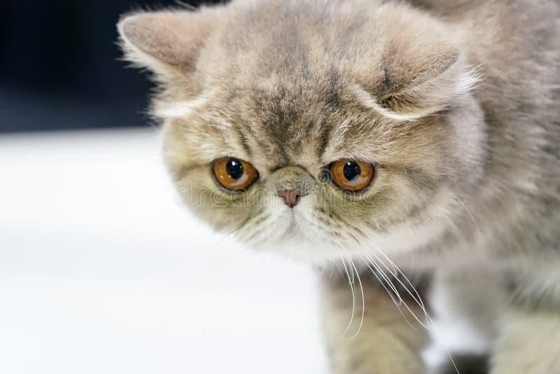 Kitten Persian kortslutningshait och brun tigermodellf?rg p? den p?lsanseende p? den vita tabellen royaltyfri foto