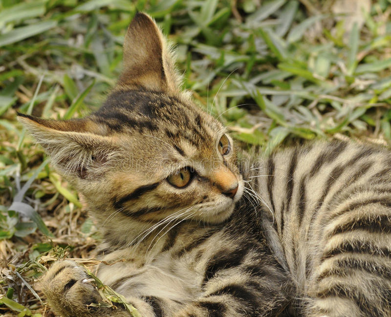 Download Kitten playing stock photo. Image of stripes, play, hunt - 14854162