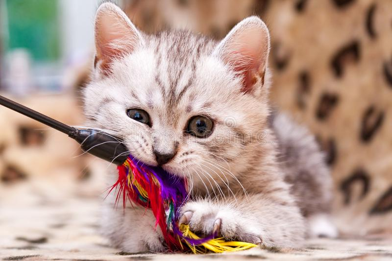 Kitten playing with feather wand, small British kitten gray white color chews cat toy royalty free stock image