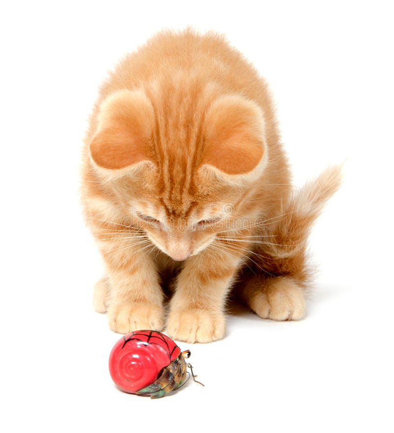 Kitten playing with hermit crab. Cute yellow kitten playing with hermit crab on white background royalty free stock photography