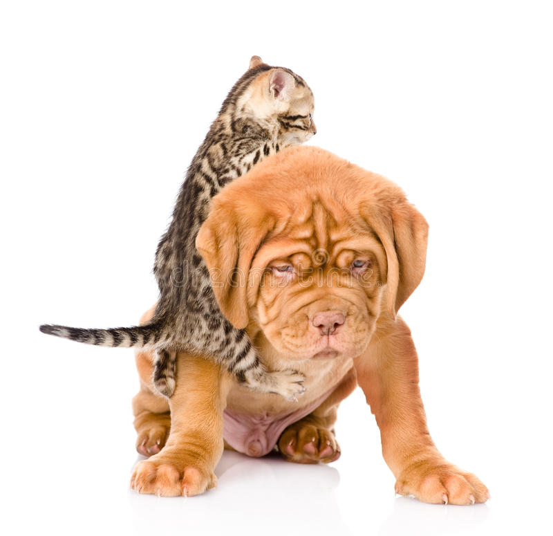 Kitten playing with a puppy. isolated on white background.  stock photos
