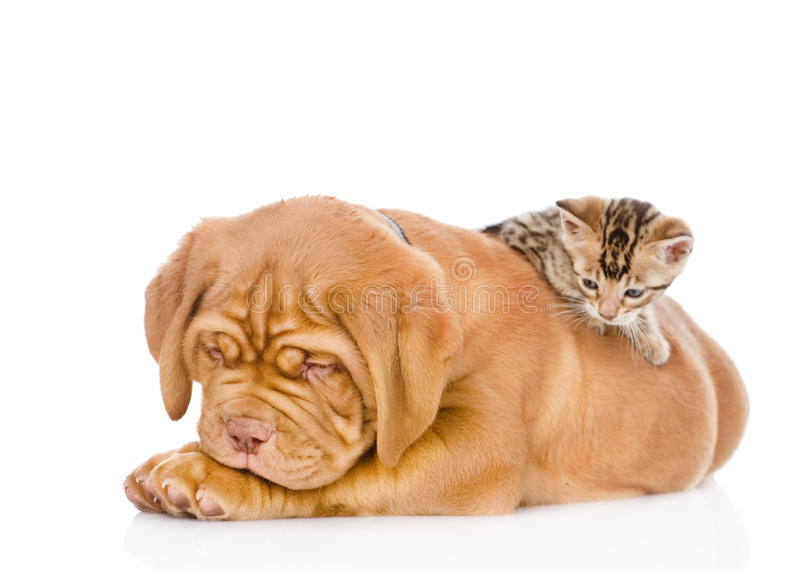 Kitten playing with a puppy. isolated on white background.  stock images