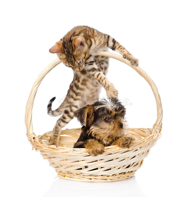 Kitten playing with a puppy. on white background.  royalty free stock photography