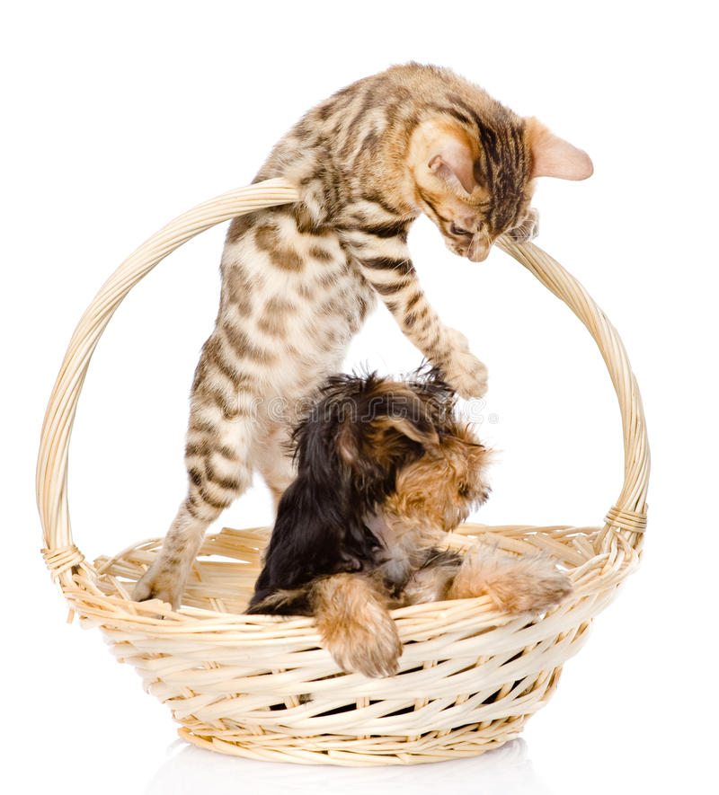 Kitten playing with a puppy. on white background.  stock photos