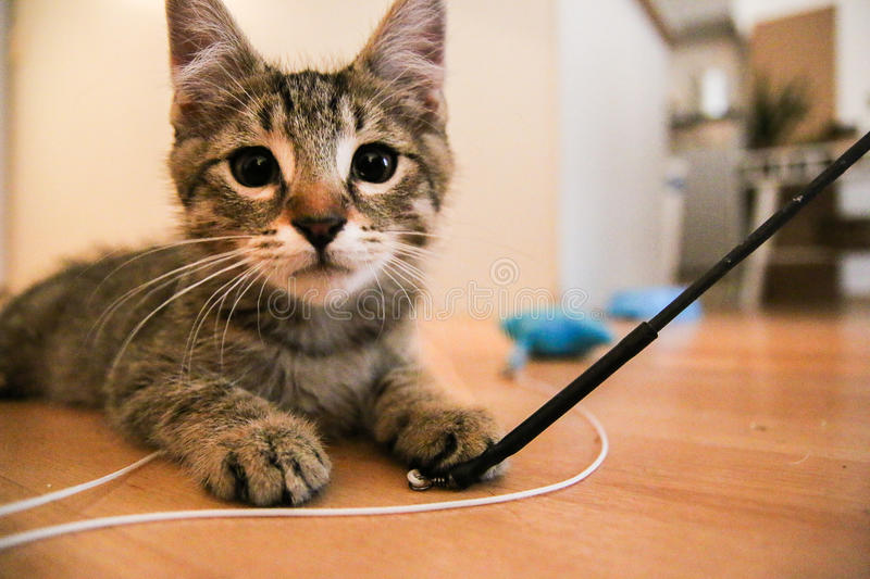 Kitten playing with toys stock images