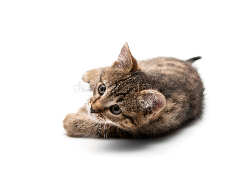 Download Kitten plays stock photo. Image of carnivore, portrait - 17702368