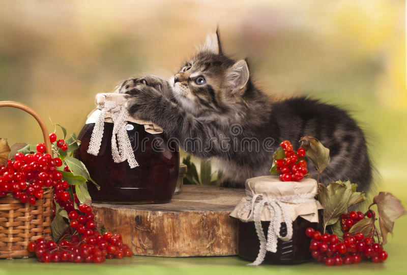 Kitten plays with jam royalty free stock image