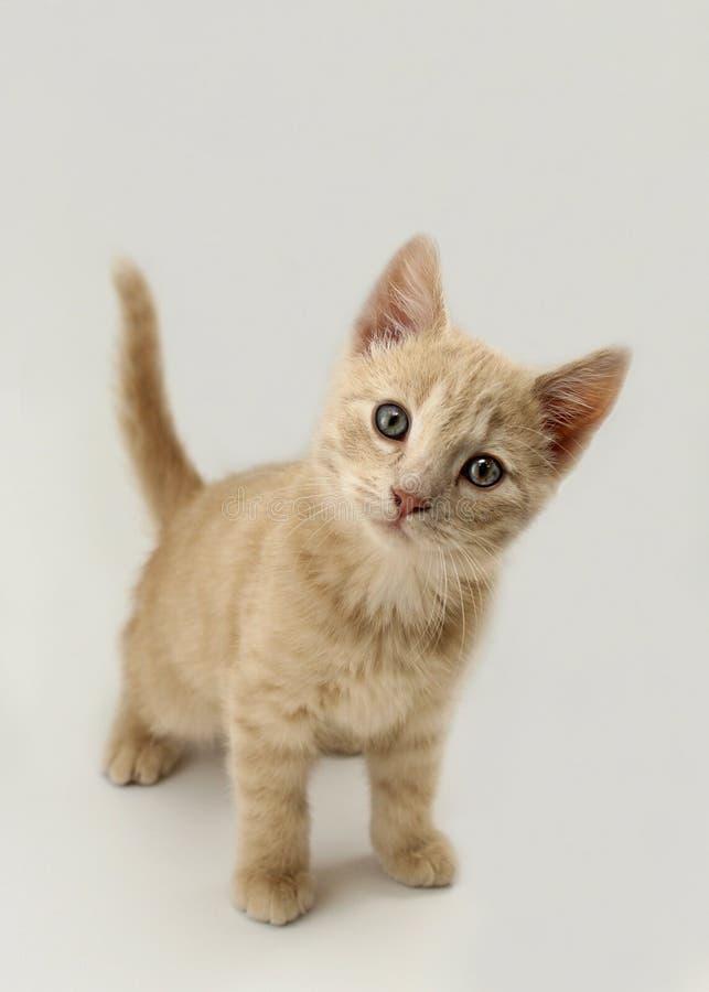 Kitten Portrait stock foto