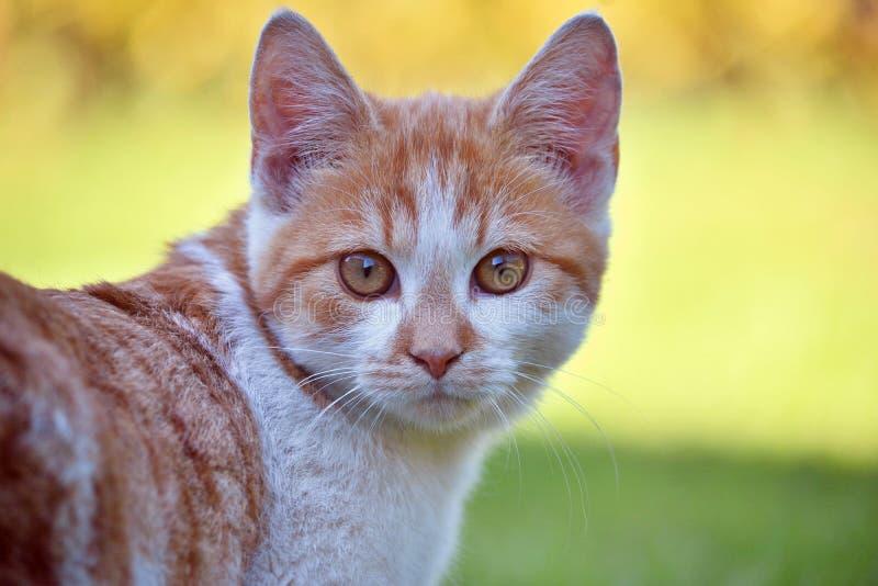 Kitten. Portrait, cat looking for prey stock image