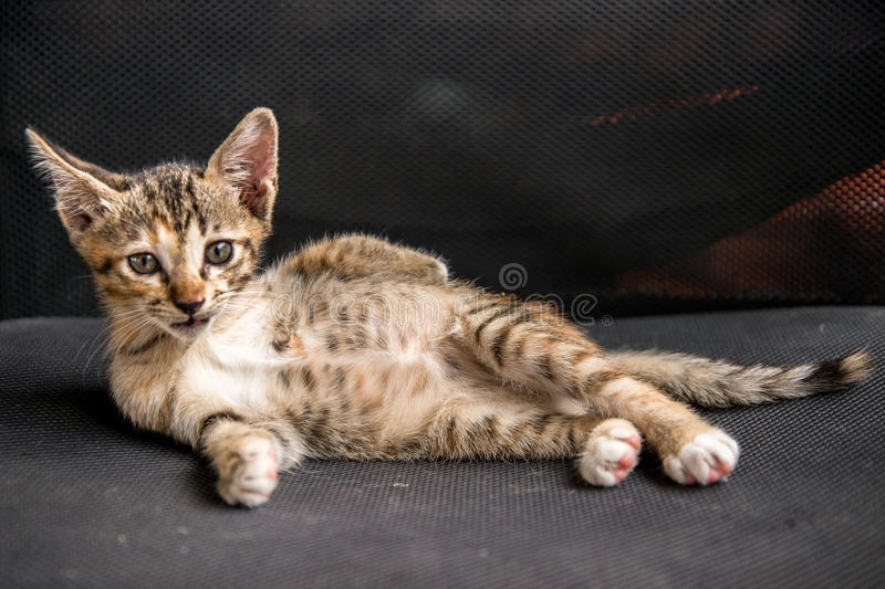 Kitten pose on the chair stock photography