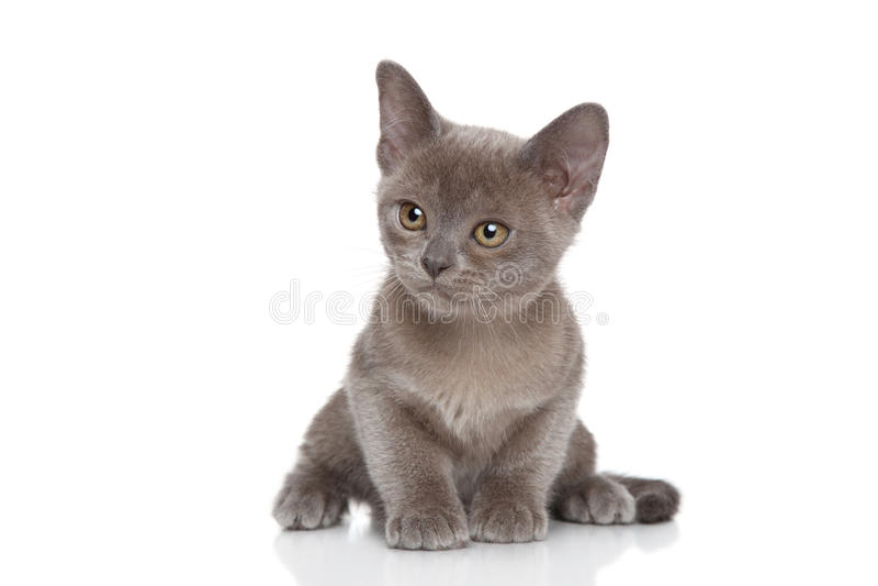 Kitten posing on white background royalty free stock image