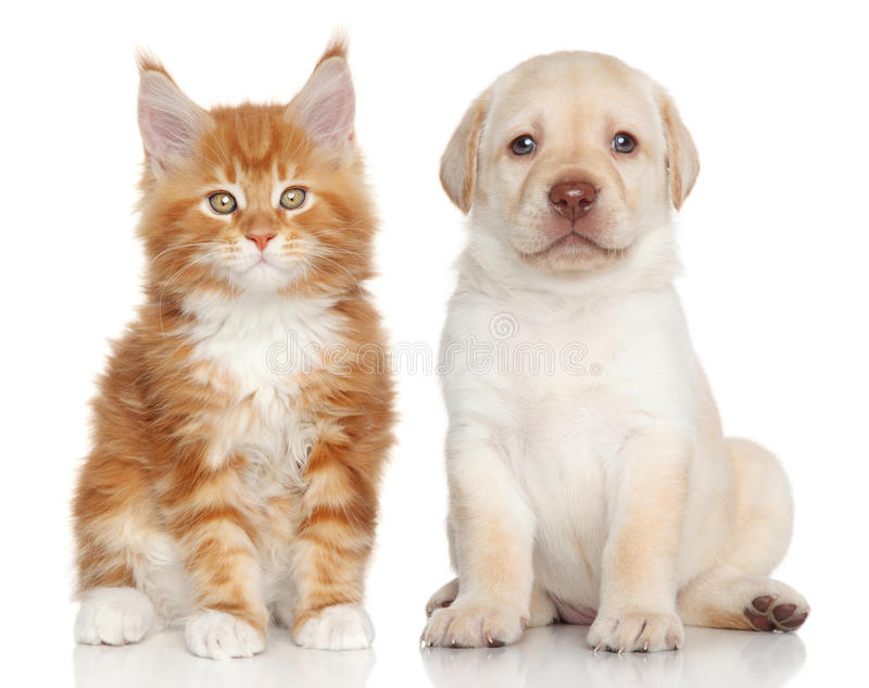 Kitten and puppy. Maine Coon kitten and Labrador puppy on white background royalty free stock images