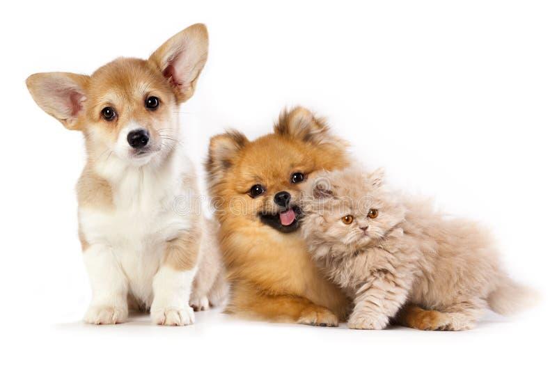 Kitten and puppy. Pembroke Welsh Corgi puppy, kitten persian and pomeranian spitz royalty free stock image