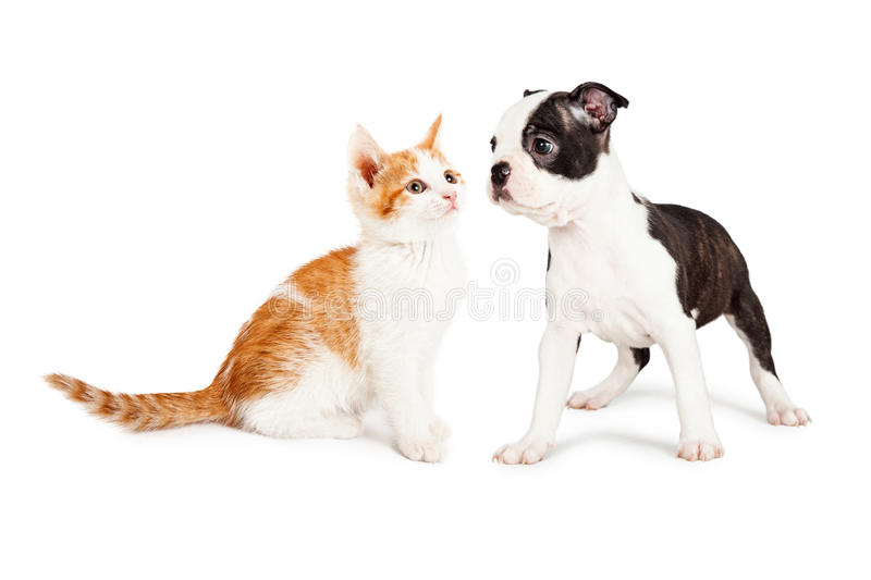 Kitten and Puppy Staring at Each Other. Cute little Boston Terrier puppy standing to the side looking at an adorable orange and white kitten stock photo