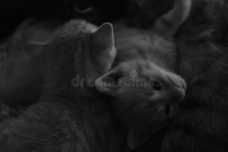2 Kitten resting on a carpet in black and white stock image