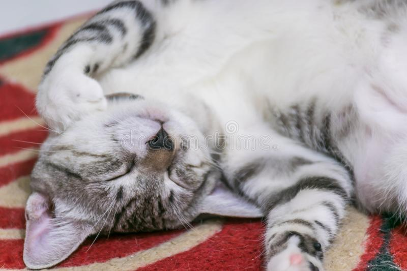 Kitten Roll Over Chested blanche heureuse images libres de droits