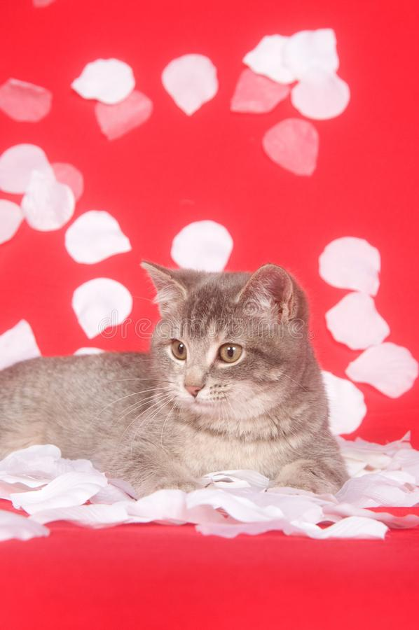 Download Kitten and rose petals stock photo. Image of mammal, white - 7836506