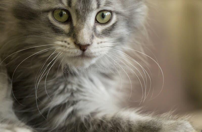Kitten. Russian Siberian, gray mackeral tabby kitten portrayed in a portrait pose stock photo