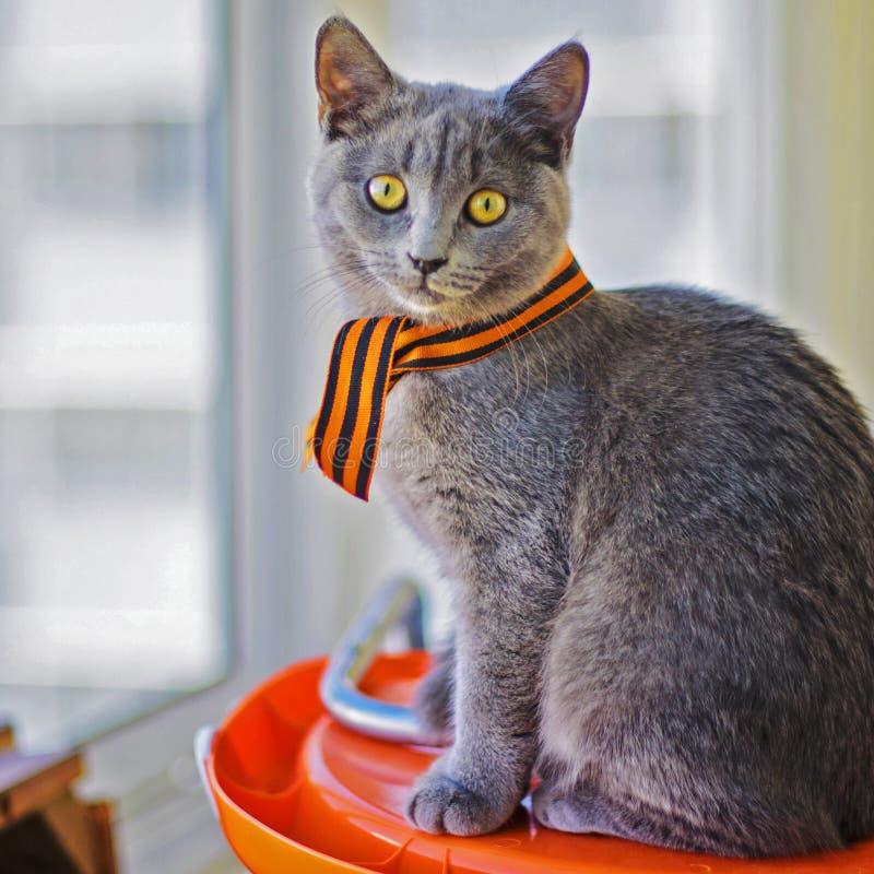 Kitten Scottish imagem de stock