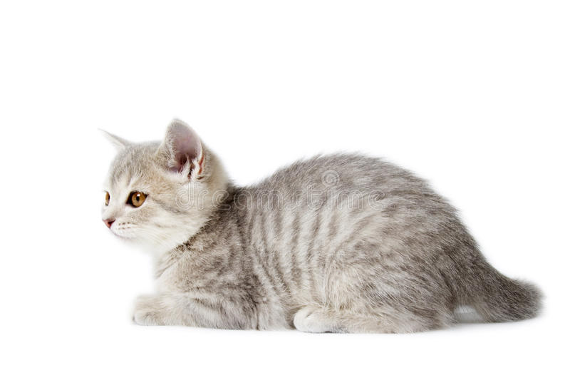 Kitten Scottish Straigh Isolated On White Royalty Free Stock Images