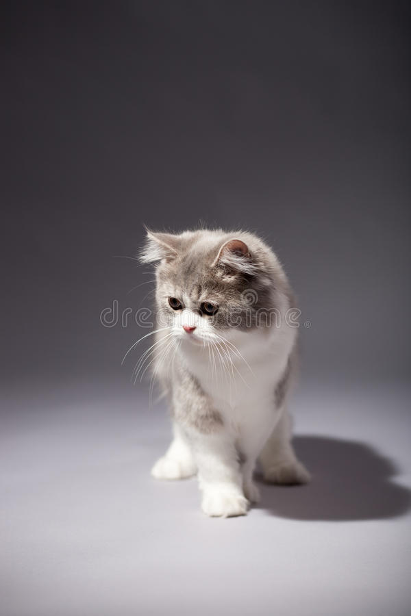Download Kitten Scottish Straight Breed Royalty Free Stock Images - Image: 29859689