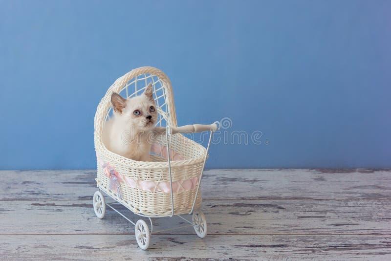 Kitten of Scottish straight breed sitting in small stroller stock photos