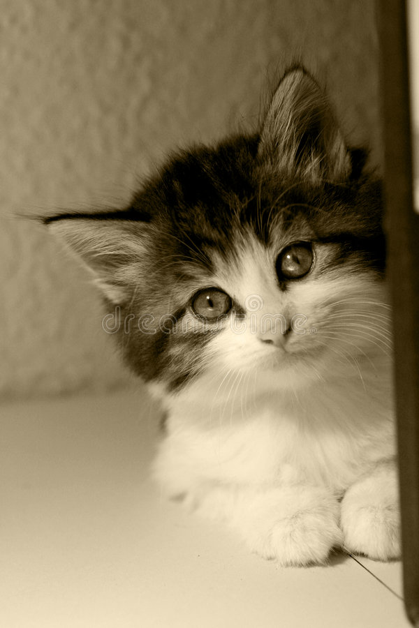 Download Kitten sepia stock photo. Image of cute, pussycat, black - 5837596