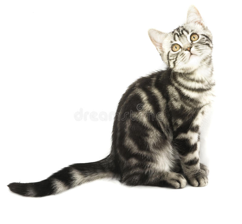 Kitten sitting. Silver tabby british kitten hunting isolated in the white background stock photo