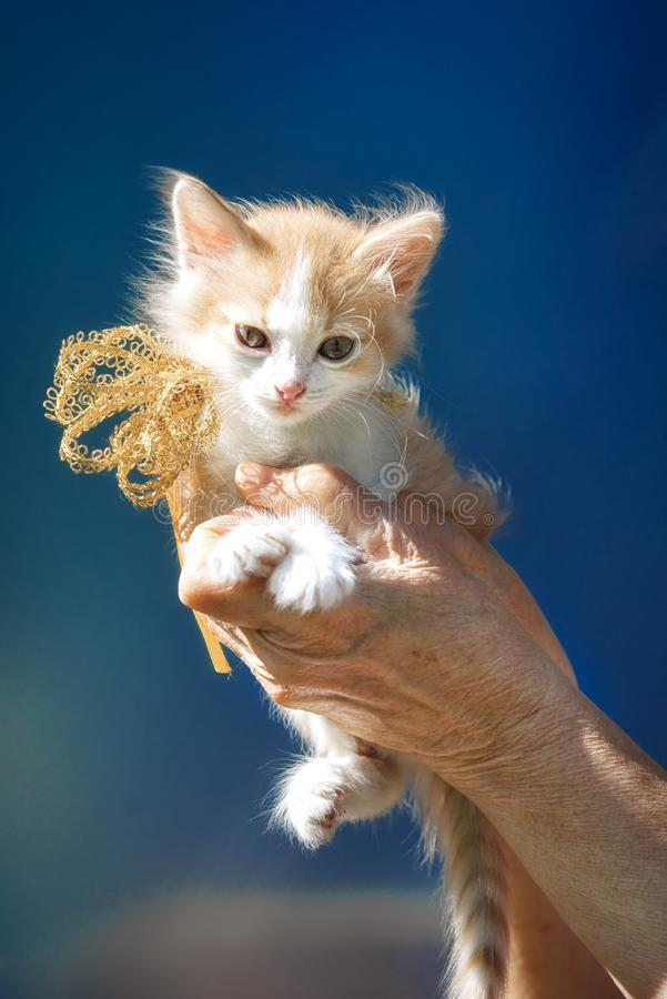 Kitten sitting on the hands with ribbon bow royalty free stock images