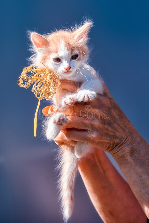 Kitten sitting on the hands with ribbon bow royalty free stock photo