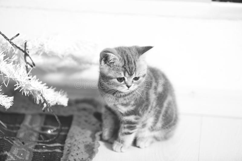Kitten sitting near a Christmas tree royalty free stock photography