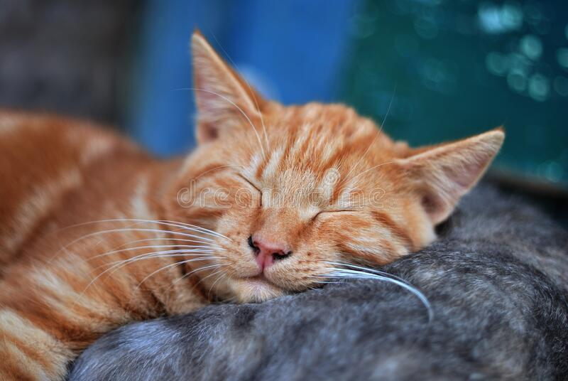 Kitten sleeping on mother cat royalty free stock images