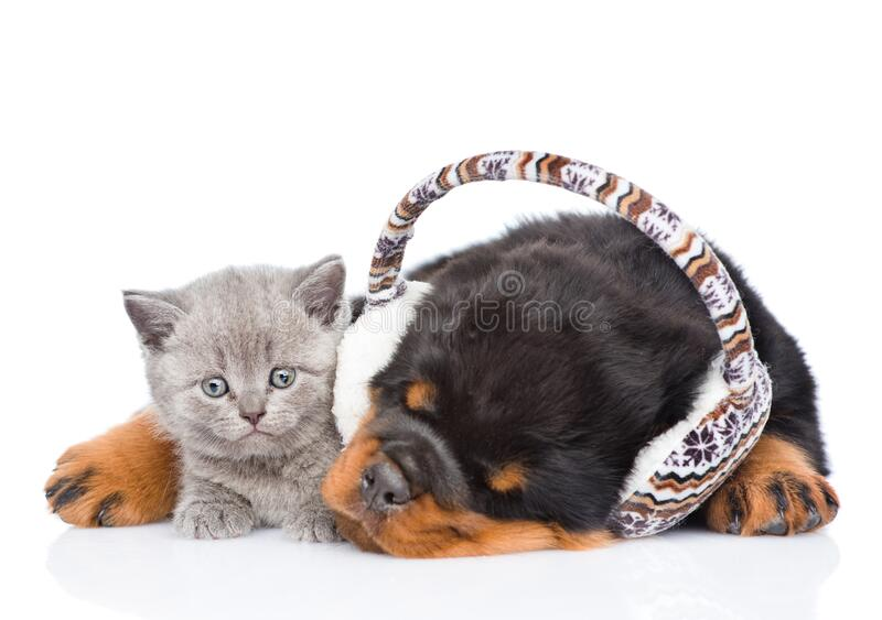 Kitten and sleeping puppy with earmuffs. Isolated on white background royalty free stock photo