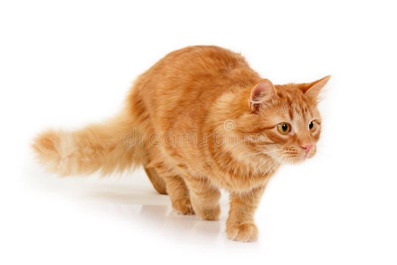 Download Kitten slink stock photo. Image of hunter, playful, white - 22176316