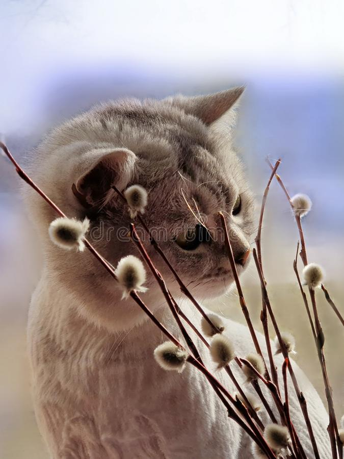 Hello Spring Cute Cat sniffs spring plants willow spring comes animals and flowers spring blue spring sky royalty free stock photography