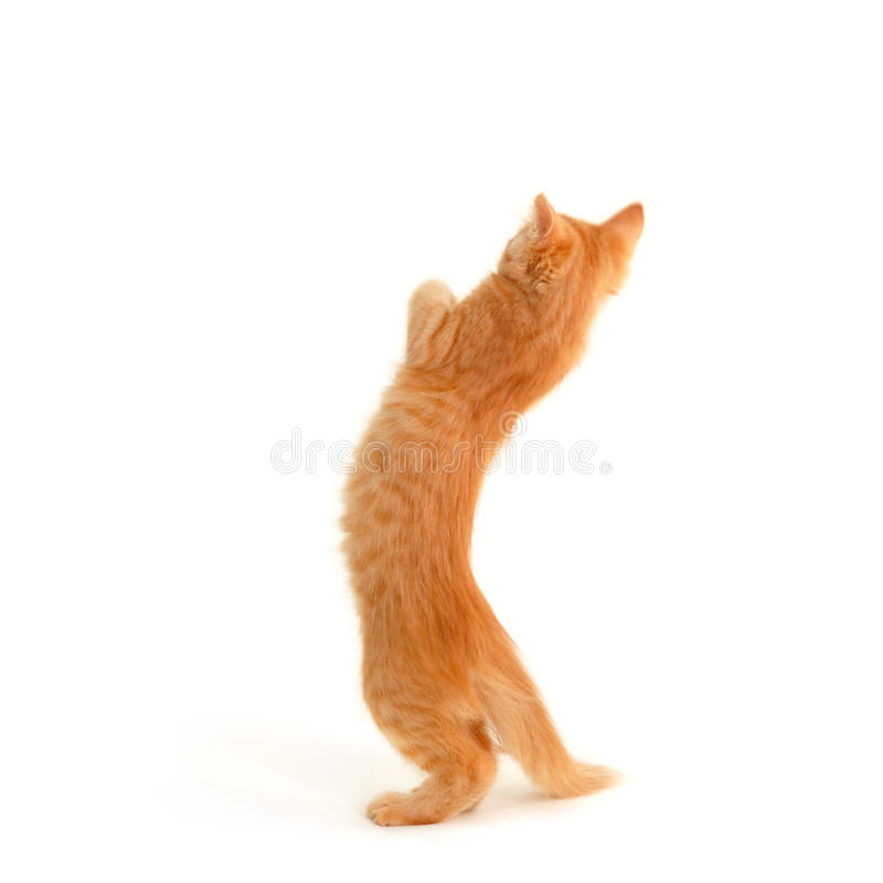 Kitten Standing Royalty Free Stock Photos