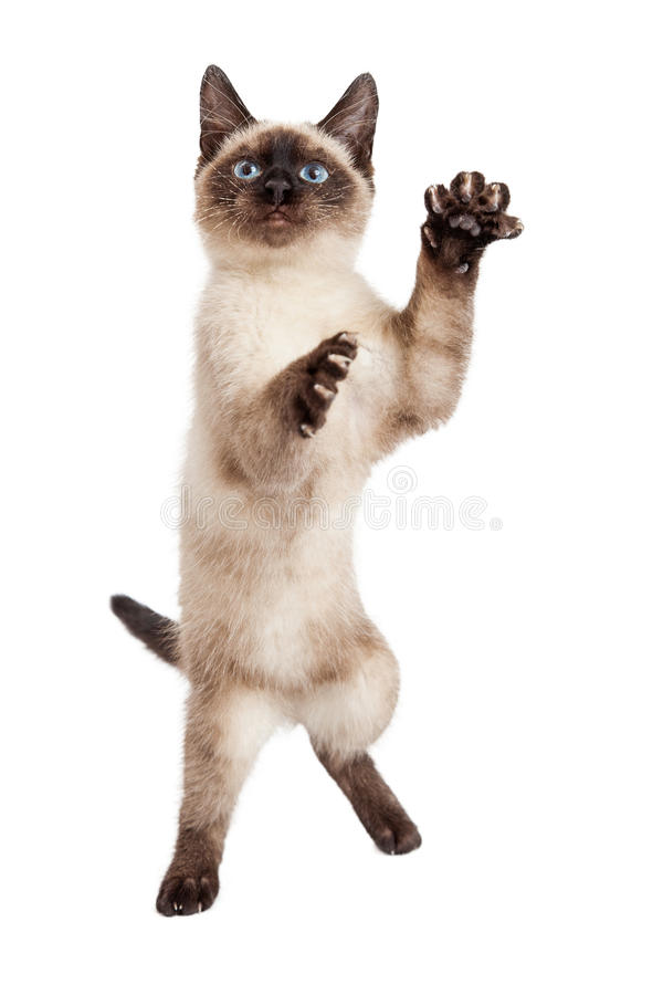 Kitten Standing Up Siamese brincalhão foto de stock royalty free