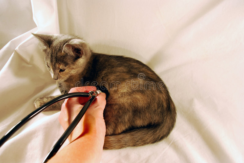 Kitten and stethescope royalty free stock photo