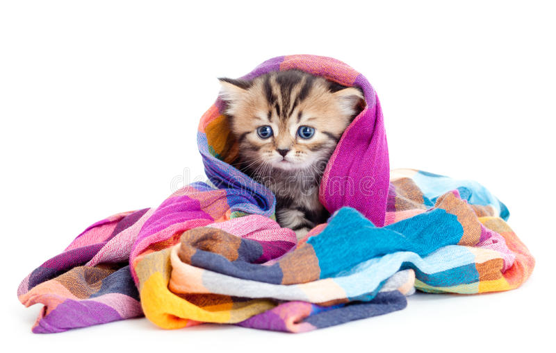 Kitten tabby brittish in colorful scarf royalty free stock photo