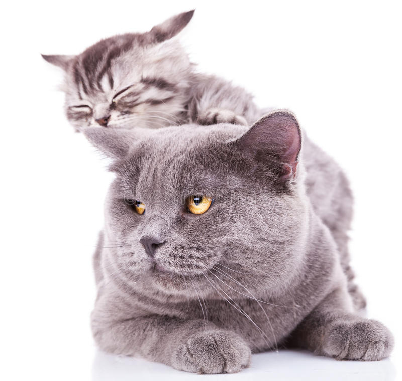 Kitten taking nap on adult stock photo