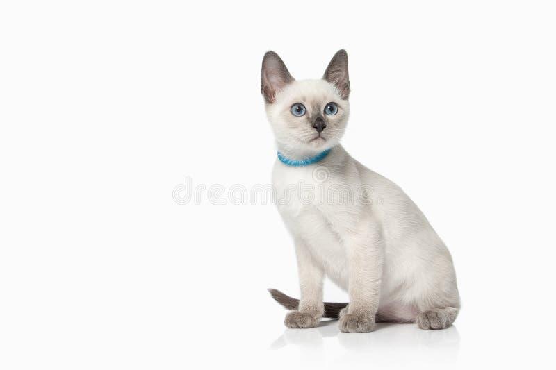 Kitten. Thai cat on white background. Thai cat on white background stock image