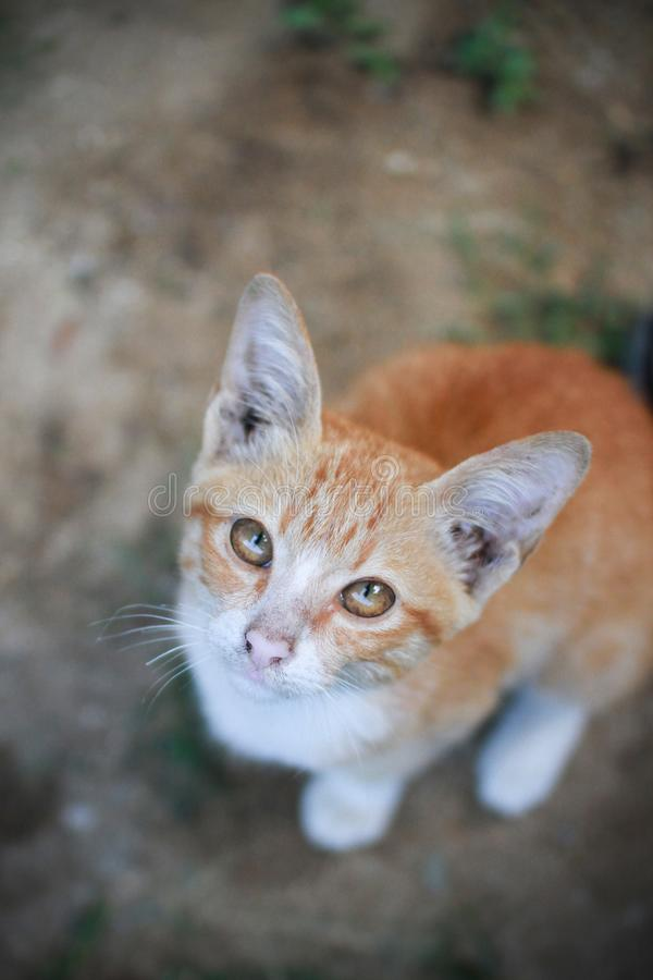 Kitten Thai-Katze oder Siam-Katze in der orange Farbe, die aus den Grund im Garten und in ihm sitzt, betrachtet Kamera, die auf D lizenzfreies stockbild