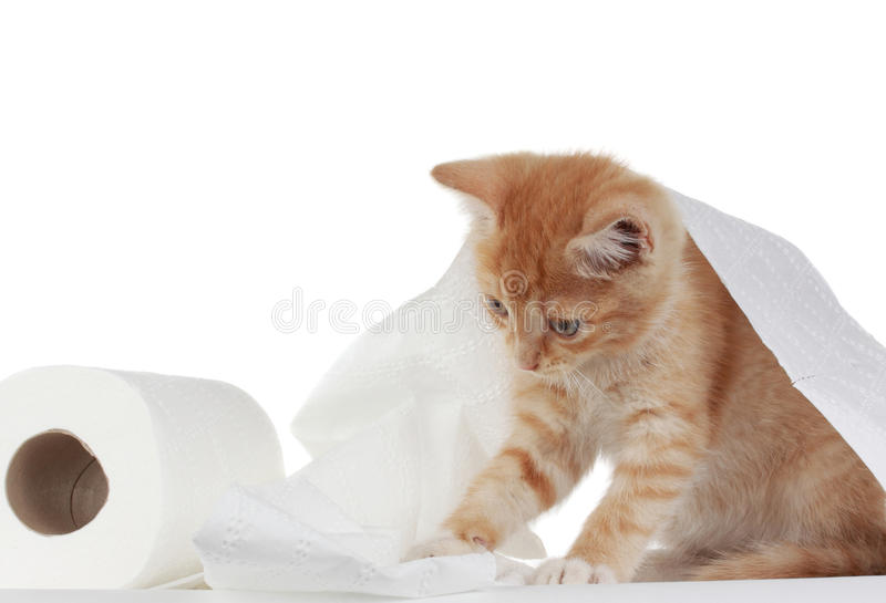 Kitten and toilet paper royalty free stock image