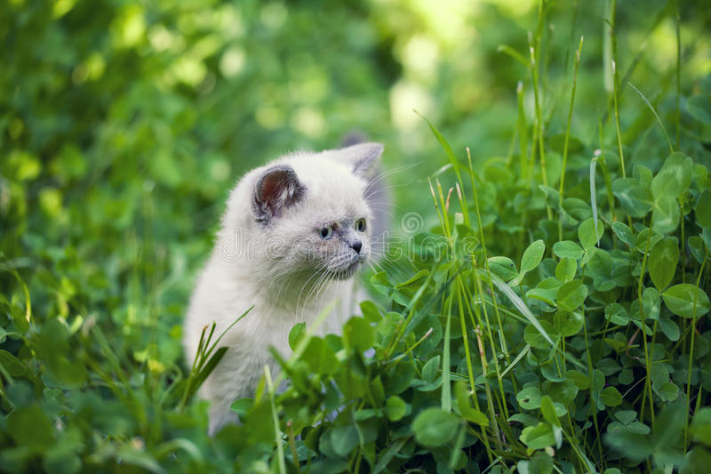 Kitten walking in clover royalty free stock images