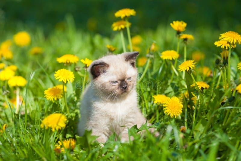 Kitten walking in dandelion lawn stock photography